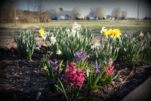 daffodils and hyacinths blooming