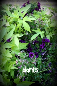 plants for baskets