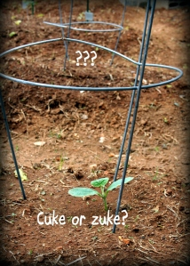 cuke or zuke
