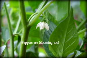pepper bloom