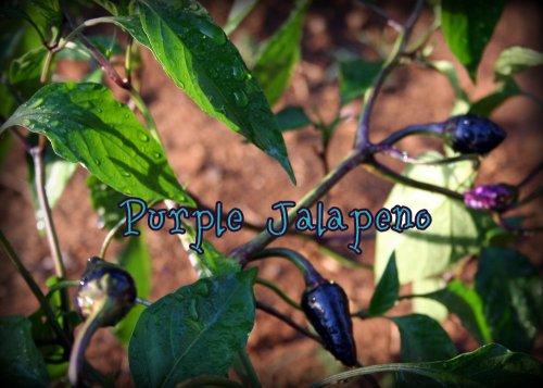 purple jalapenos
