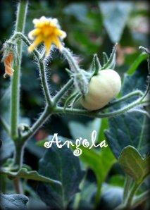 angola tomato