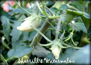Sherrill's Watermelon tomatoes