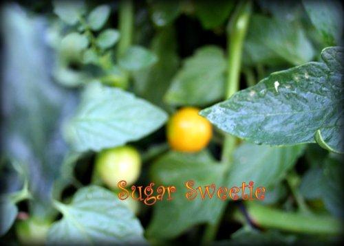 Sugar Sweetie