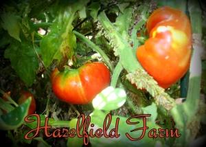 hazelfield farm tomato