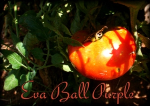 eva ball purple tomato