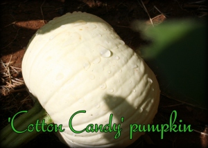 Cotton Candy pumpkin