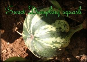 sweet dumpling squash
